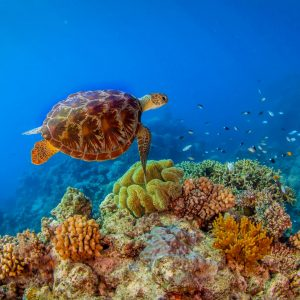 Great Barrier Reef Turtle
