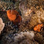 anemonefish Hastings Reef