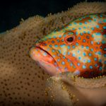 coral trout Hasting Reef