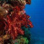 Red Gorgonian Coral Hastings Reef