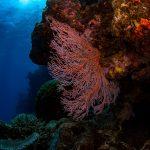 Red Sea Fan Hastings Reef