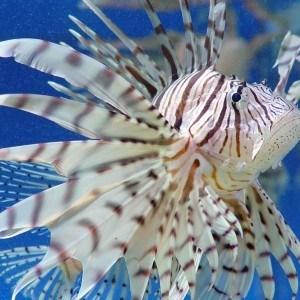 Lionfish Whitsundays